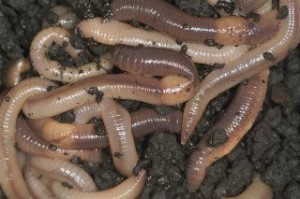 dauwworm