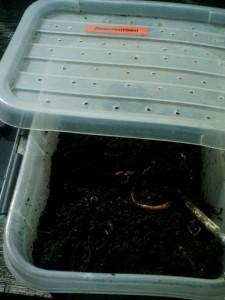 regenwormen kweken
