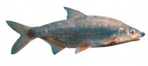 blauwneus